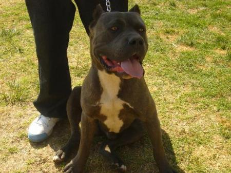 CAPO KENNEL. BANDOG BLUE NEO MASTIFF/BLUENOSE PIT BULL